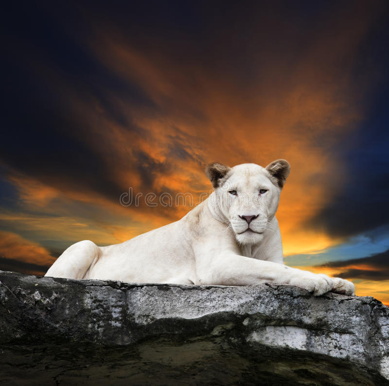 Close up face of white lioness lying on rock cliff against beaut royalty free stock photos