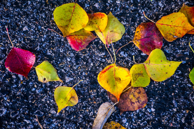 Close up Fall Foliage Leaves fall to the ground with dark Contrasting Asphalt. Fall Foliage bright brilliant Colors of Fall Autumn Colorful Leaves Central Texas stock photo