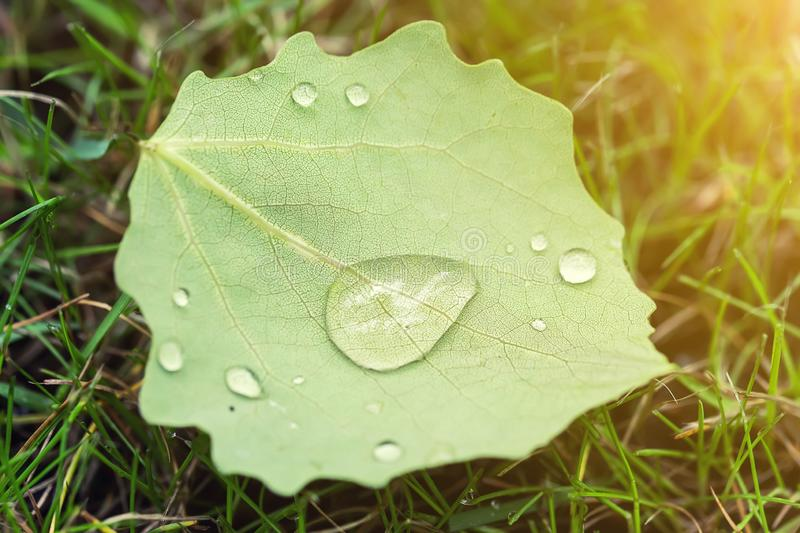 Close-up fallen leave with big water drops of dew or after rain on green grass lawm. First fallen leaves and early autumn concept royalty free stock photo