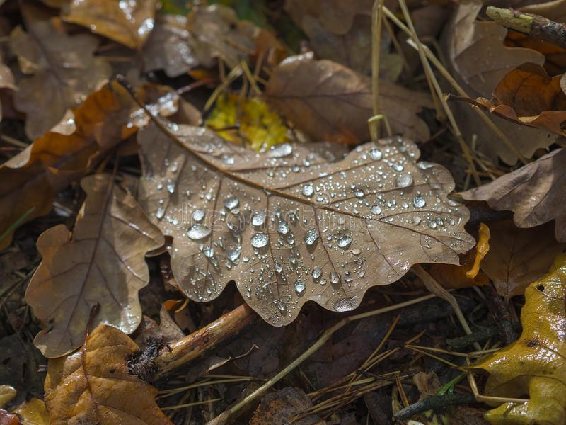 Close up fallen wet oak leaf on forest ground in morning light i. N autumn natural background stock photo