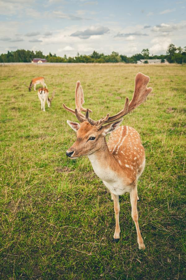 Close-up fallow deer in the field stock photography
