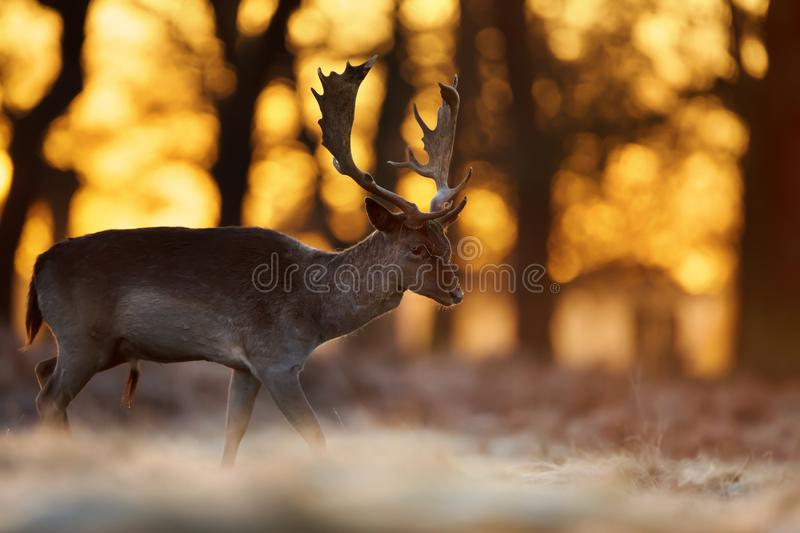 Close-up of a Fallow Deer stag walking against rising sun stock photography