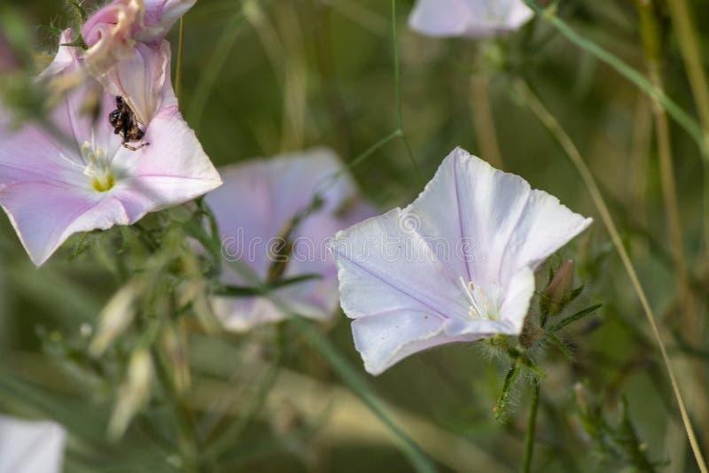 Close-up falso da conversão da flor da trepadeira fotografia de stock royalty free