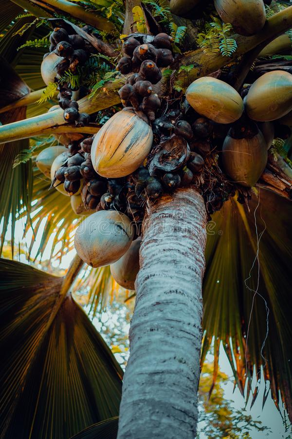 Close up of the famous Coco de Mer coconut palm tree in the botanical garden of Mahe, Seychelles stock photos