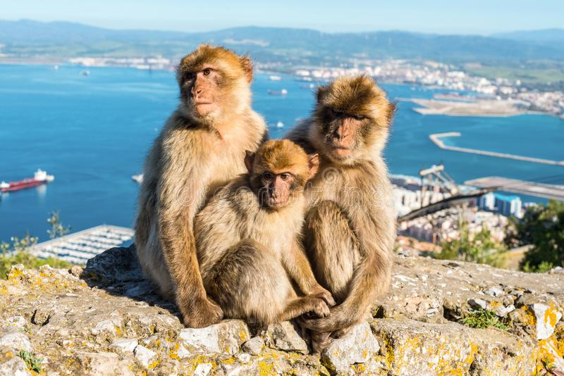 Monkeys from Gibraltar stock images