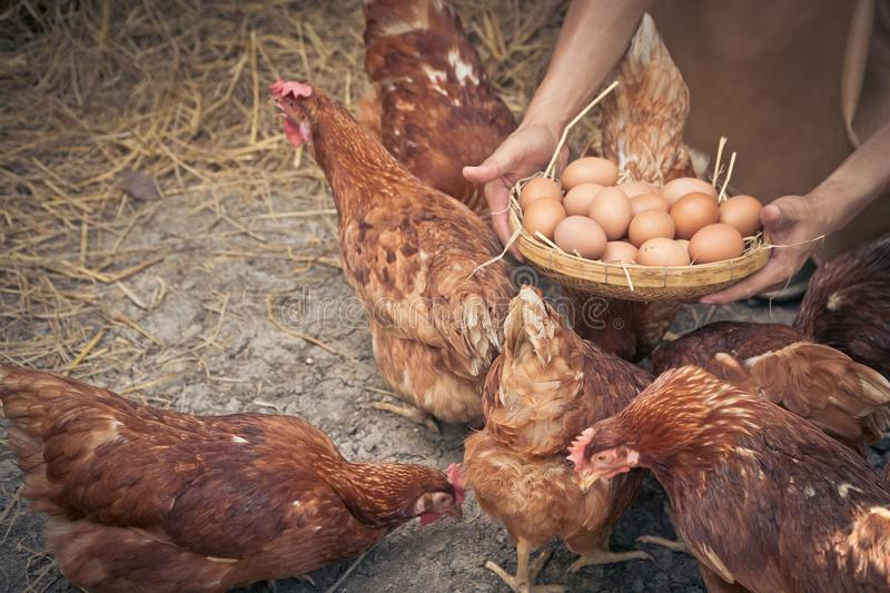 Close-up farmer hands holding fresh chicken eggs into basket at a chicken farm in him home area. Concept of organic farm stock photography