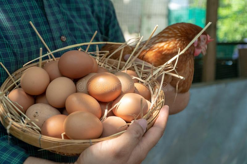 Close-up farmer hands holding fresh chicken eggs into basket at a chicken farm in him home area. Concept of organic farm stock images