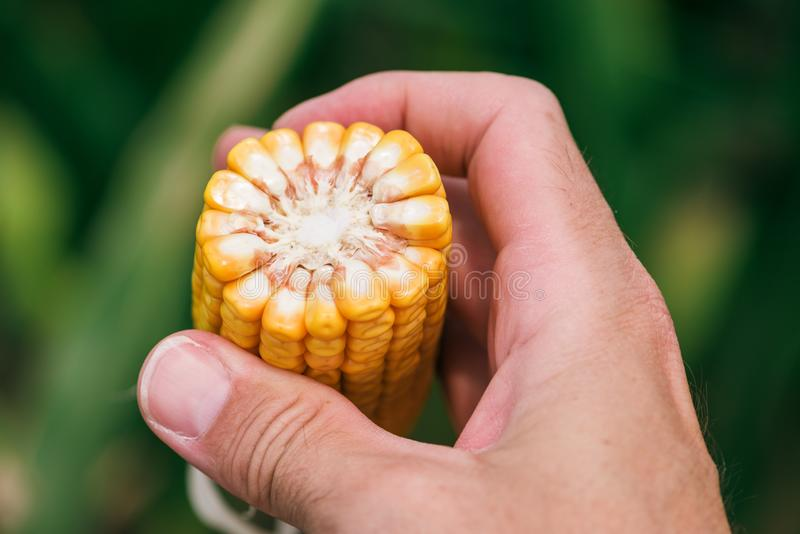 Close up of farmer`s hand holding corn cob stock image