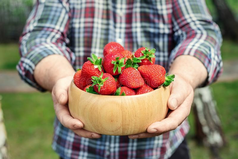 Close-up farmer's hand holding and offering red tasty ripe organic juicy strawberries in wooden bowl outdoors at farm royalty free stock image