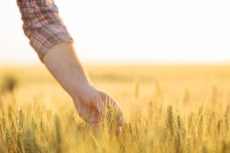 Close-up of a farmer`s hand holding a wheat plant stem in a field stock photography