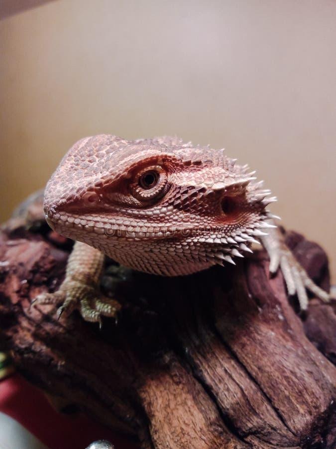 Close-up farpado do dragão imagem de stock
