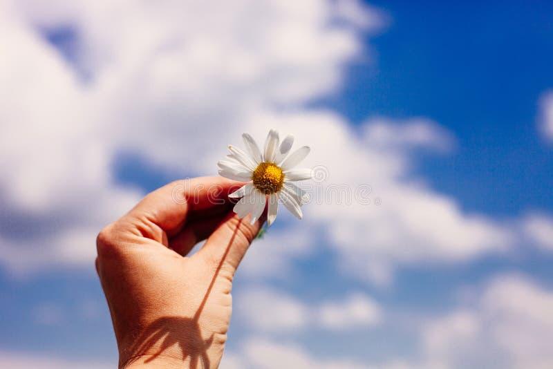 Close up of female hand with daisy against vivid summer blue sky stock photos