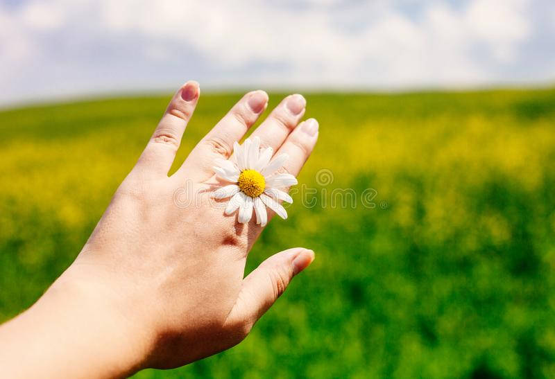 Close up of female hand with daisy against vivid summer field and blue sky stock photography