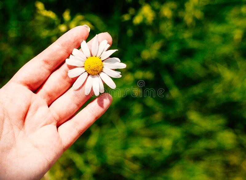 Close up of female hand with daisy against vivid summer field royalty free stock images