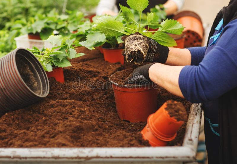 Close up of female hands with gloves holding flower pot with seedling in greenhouse stock photos