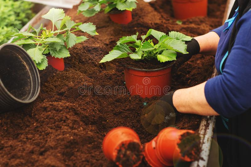 Close up of female hands with gloves holding flower pot with seedling in greenhouse stock photography