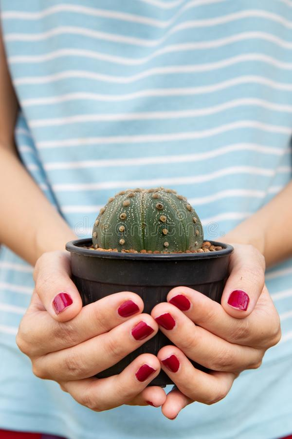 Close up of female hands holding a small cactus. stock image