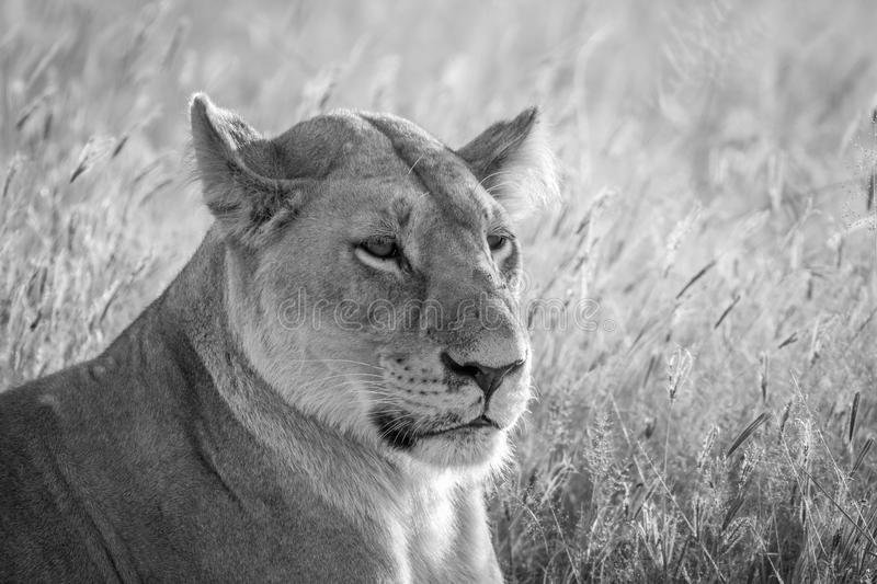 Close up of a female Lion in Chobe. Close up of a female Lion in black and white in the Chobe National Park, Botswana stock photo
