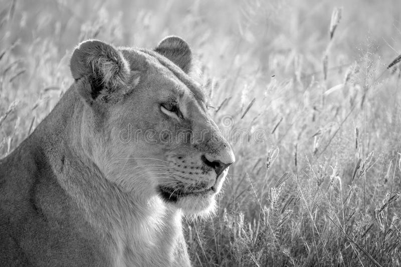 Close up of a female Lion in Chobe. Close up of a female Lion in black and white in the Chobe National Park, Botswana royalty free stock images