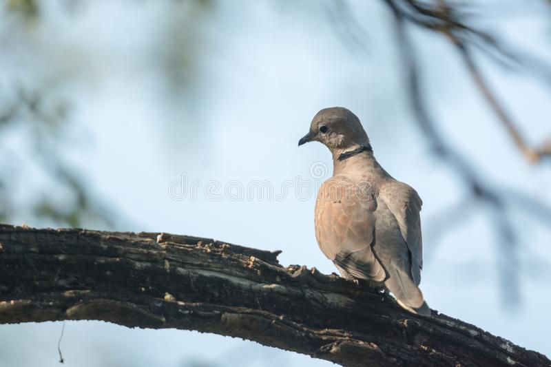 Close up female Red Collared Dove (Streptopelia tranquebarica) perching on branch. royalty free stock photo