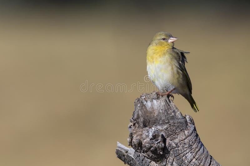Close-up of a female weaver bird perching on a wood log. Close-up of a female weaver bird perching on a brown wood log stock photography
