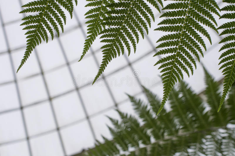 Close up of fern royalty free stock photography