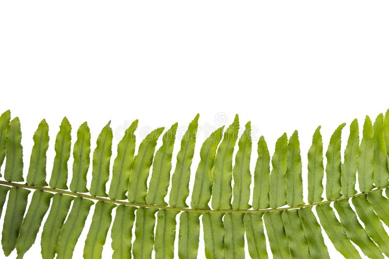 Close up Fern isolated. On white background royalty free stock photos