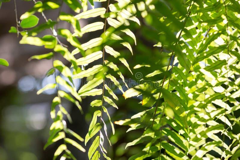 Close up fern leaf in the garden. Under sunrise stock photo