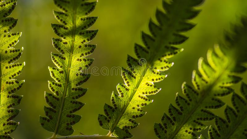 Close up fern leaves and its spores with green forest nature background. Macro shot selective focus. Natural green fern leaves royalty free stock image
