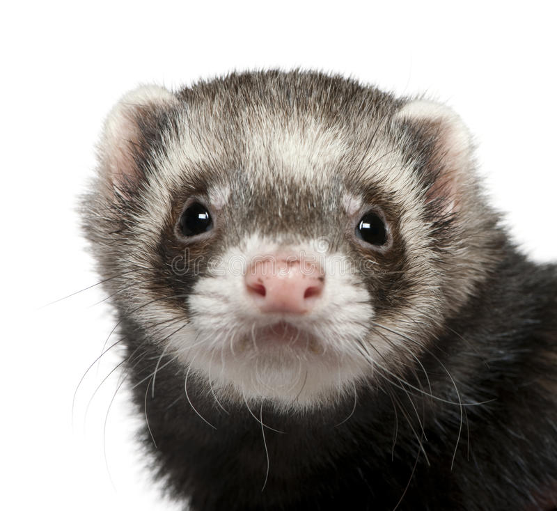 Close-up of ferret, 3 years old royalty free stock photography