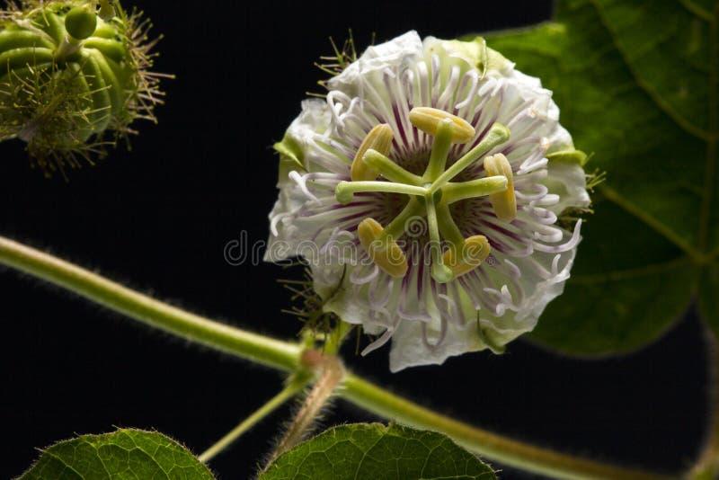 Close up Fetid passionflower, Scarletfruit passionflower, Stinking passionflower with leaves isolated on black background stock images