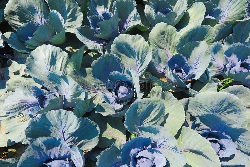 Close up of field with red cabbage plants - Netherlands, Venlo royalty free stock image