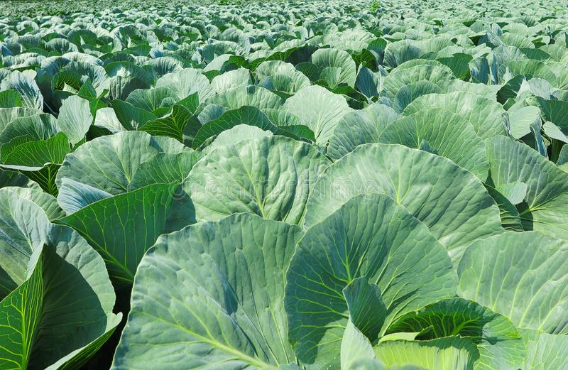 Close up of field with white cabbage plants - Netherlands, Venlo royalty free stock photography
