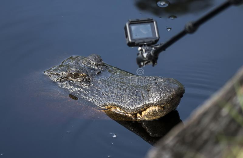 Close up filming of Alligator with mini action camera stock photography