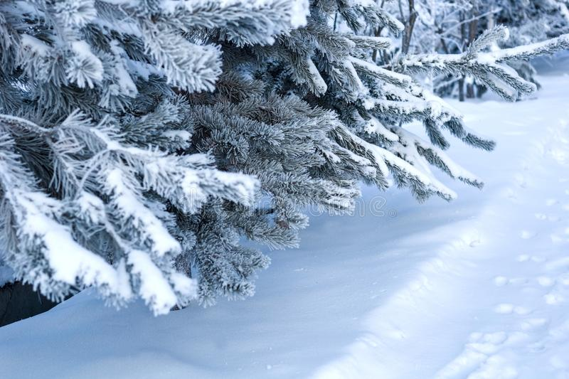 Close up fir tree branches covered with snow. In a winter forest royalty free stock images