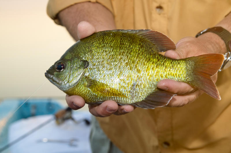 Close up of fisherman holding a Bluegill pan fish. A close up of a fisherman holding an alive, freshwater Bluegill pan fish in his hands stock image