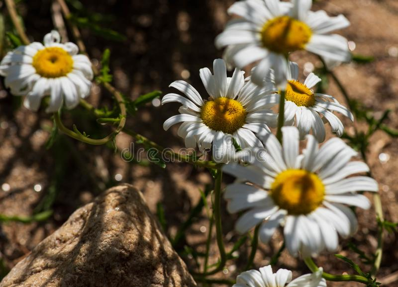 Close up of daisy flowers royalty free stock photography