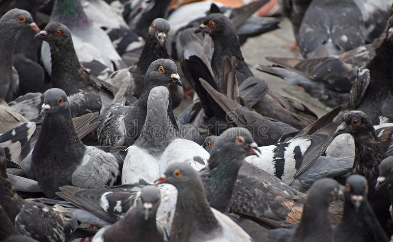 Close up flock of many pigeons on the ground royalty free stock image