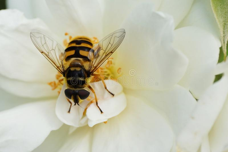 Close-up of a floral Caucasian fly hoverfly of the genus Dasysyrphus sitting in the inflorescence of a white bushy rose stock image