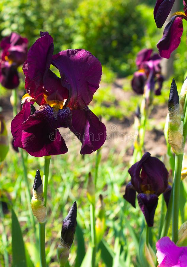 Close-up of a flower of bearded iris Iris germanica. Flower bed of irises. Iridarius royalty free stock photos