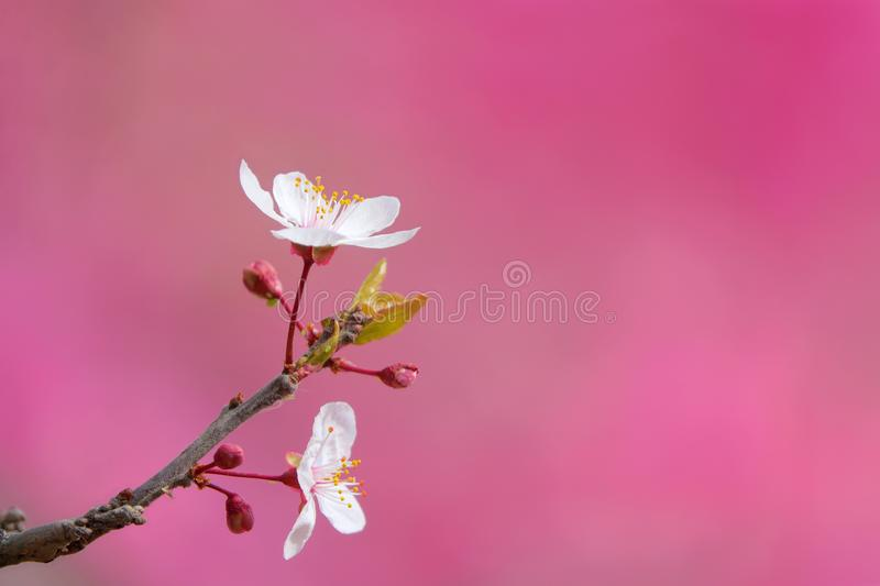 Cherry Plum. The close-up of flower branch of Cherry Plum. Scientific name: Prunus Cerasifera stock photography