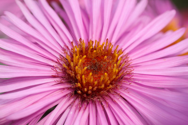 Download Close up of flower stock image. Image of chrysanthemum - 29892223