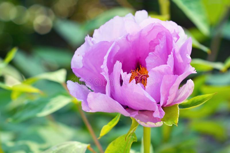 Close up of flower head of pink Chinese Peony in full bloom during early spring. On blurry leaf background stock photo