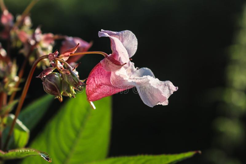 Close up flower of Impatiens glandulifera / Himalayan Balsam in flower in Serbia Kosovo royalty free stock photography