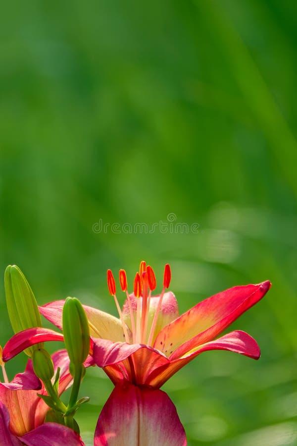 Lilium brownii royalty free stock photography