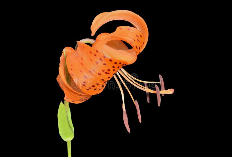 Wild lily Lilium pseudotigrinum 3. A close up of the flower of lily Lilium pseudotigrinum. Isolated on black royalty free stock images