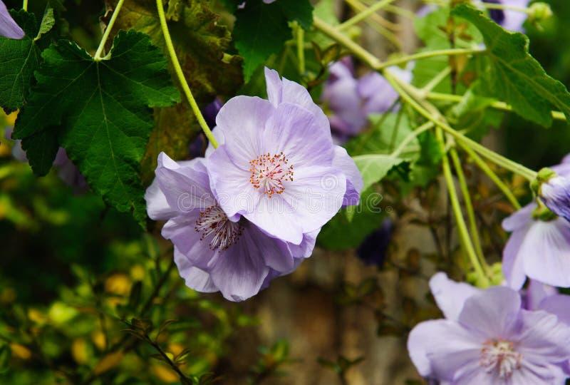 Close up flower malvaceae stock images