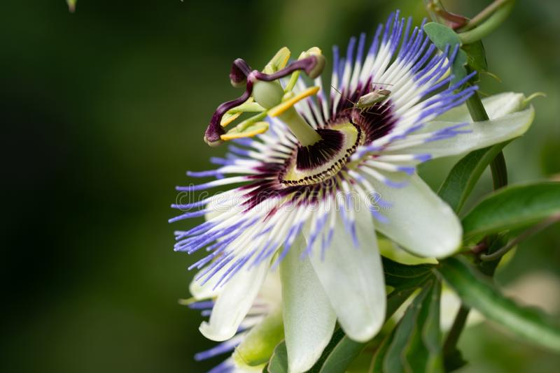 Close-up of the flower of Passiflora edulis or Passion Flower. On a natural background stock photos