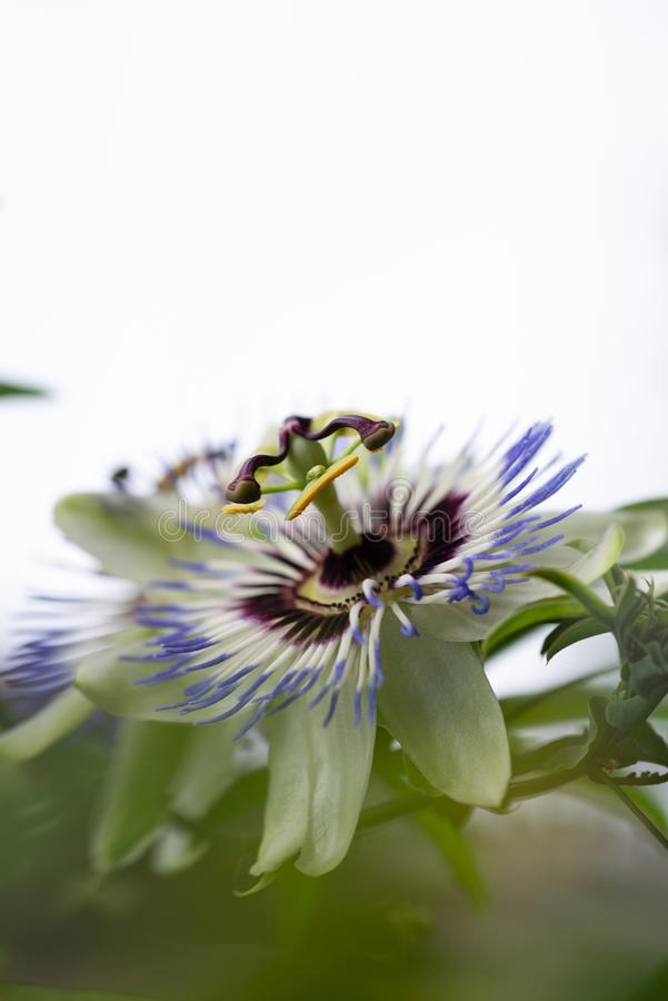 Close-up of the flower of Passiflora edulis or Passion Flower. On a natural background stock images