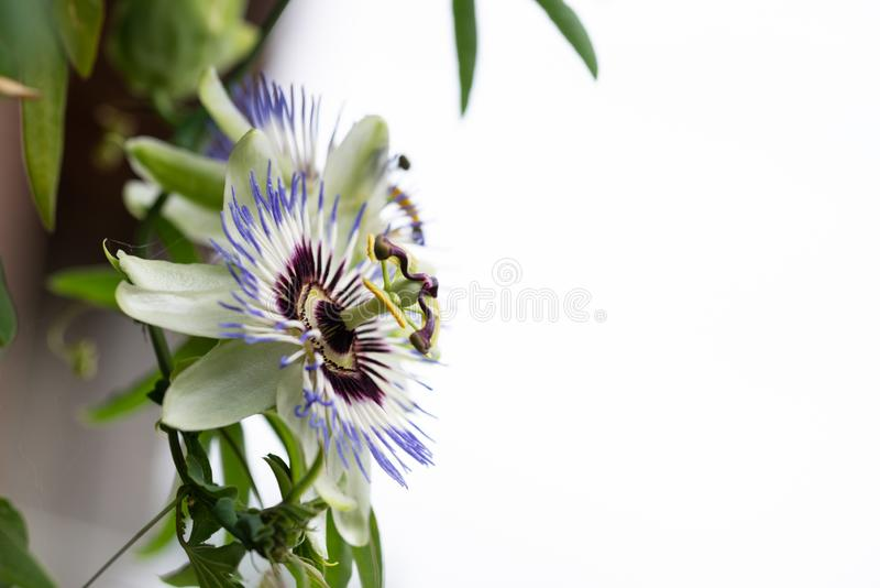 Close-up of the flower of Passiflora edulis or Passion Flower. On a natural background royalty free stock image